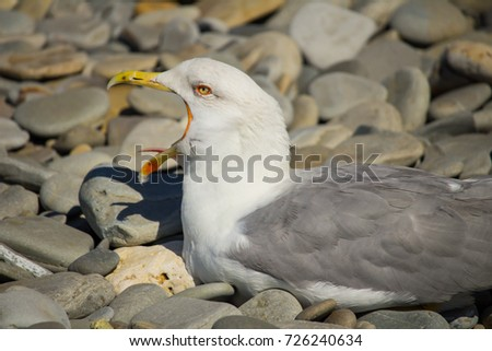 Herring Gull, Sea Gull #726240634