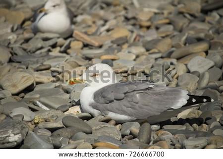 Herring Gull, Sea Gull #726666700