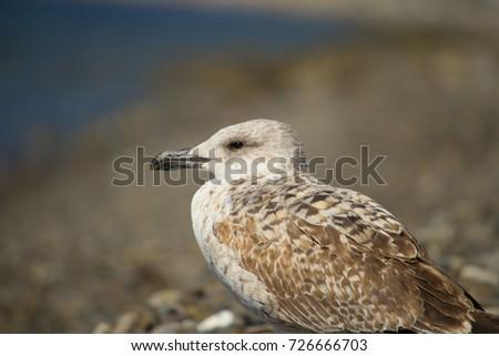 Herring Gull, Sea Gull #726666703