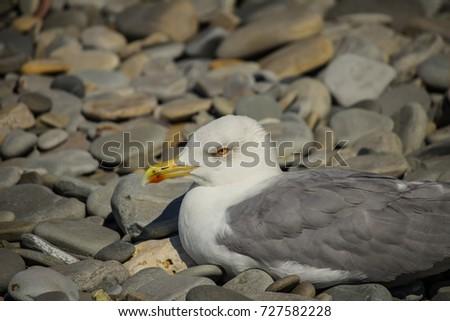 Herring Gull, Sea Gull #727582228