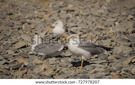 Herring Gull, Sea Gull #727978207