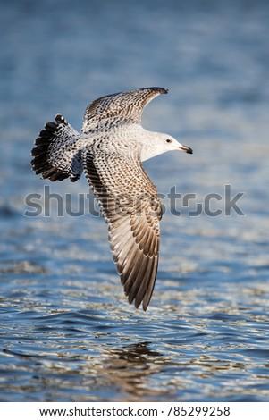 Herring Gull, Sea  Gull, Larus argentatus #785299258