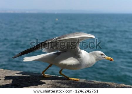 Herring gull (sea gull) on the Adriatic sea #1246242751