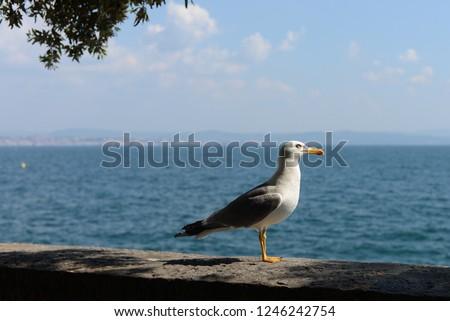 Herring gull (sea gull) on the Adriatic sea #1246242754