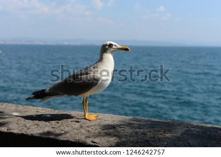 Herring gull (sea gull) on the Adriatic sea #1246242757