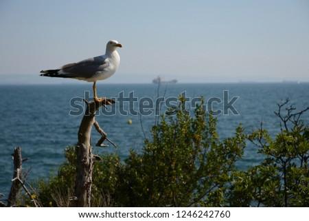 Herring gull (sea gull) on the Adriatic sea #1246242760