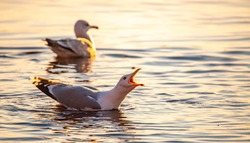 Herring gull shouting during the morning light in the Finnish archipelago.