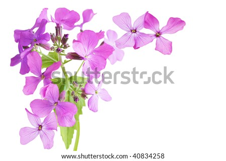 Hesperis matronalis  Dame's Rocket Michigan purple wildflower isolated on white background