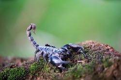 Heterometrus longimanus black scorpion. Emperor Scorpion, Pandinus imperator over natural background