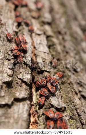 Heteropters on tree - bark full of bugs