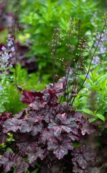 Heuchera Midnight Rose, a late blooming coral bell with tiny white flowers against a dark background