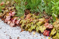 heuchera plants in the garden