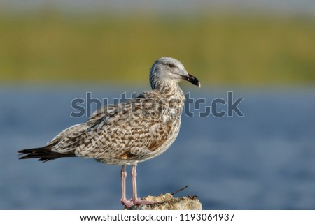 Heuglin's gull or Siberian gull (Larus fuscus heuglini). They are large gulls with a rounded head, strong bill and long legs and wings. The legs are usually yellow but can be pink. #1193064937