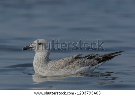Heuglin's gull or Siberian gull (Larus fuscus heuglini). They are large gulls with a rounded head, strong bill and long legs and wings. The legs are usually yellow but can be pink. #1203793405