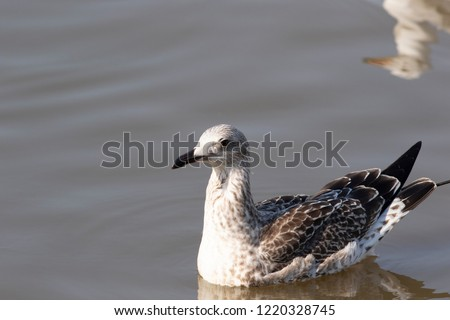 Heuglin's or Siberian gull (Larus fuscus heuglini) is a seabird in the genus Larus. Sometimes considered as a separate specie now usually treated as a subspecies of Lesser Black-backed gull.