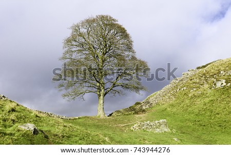 Hexham, Northumberland, UK. Sycamore tree in autumn with a view of Hadrian's Wall along contours of hills and a a bright clouded sky in Northumberland National Park near Hexham, Northumberland, UK. #743944276