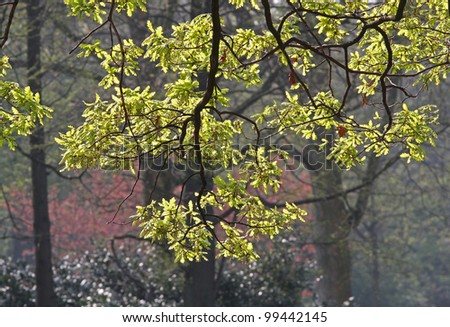 Hi-res Flowering Oak branches (English Oak, Quercus robur) with catkins (male flowers) and young leaves in spring, backlit by the sun