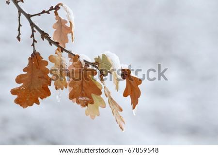 Hi-res oak leaves in snow