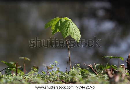 Hi-res Sapling of Norway Maple (Acer platanoides)