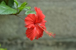 Hibiscus a common flower can be seen in Kerala India. it is locally called Chembarathi