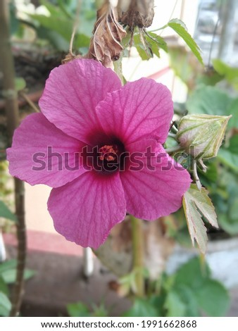 Hibiscus acetosella, the cranberry hibiscus or African rosemallow, is a flowering plant of the genus Hibiscus or rosemallow.