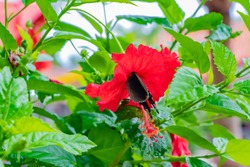 Hibiscus and swallowtail butterfly in Okinawa Taketomijima