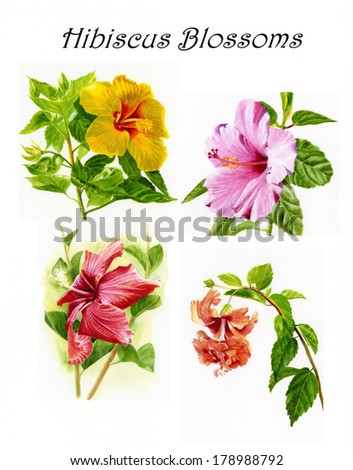 Hibiscus Blossoms Poster Collage Watercolor illustrations arranged in a collage or poster format with script at the top of the page