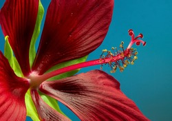 Hibiscus coccineus or scarlet rosemallow, is a hardy Hibiscus species with leaves that look much like Cannabis sativa. It is also known as Texas star, brilliant hibiscus.