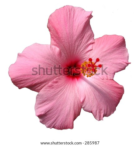 stock photo Hibiscus Flower