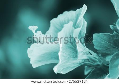 Hibiscus flower blue filter