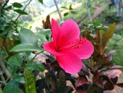 hibiscus flower in kerala china rose chembarathi