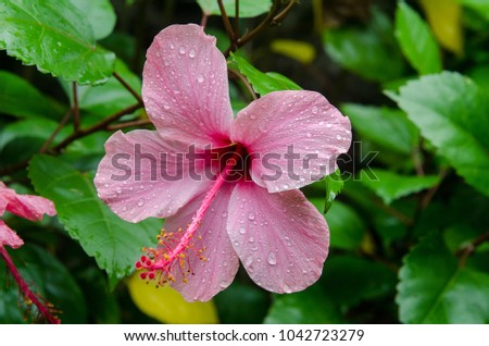 Hibiscus flower in the garden with water drops . Detail of the stamen and pistil #1042723279