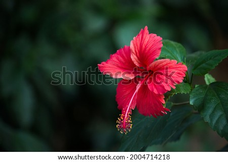 Hibiscus flower in the mallow family, Malvaceae. Hibiscus rosa-sinensis, known as the Shoe Flower or colloquially as Chinese hibiscus, China rose, Hawaiian hibiscus, rose mallow  and shoeblackplant
