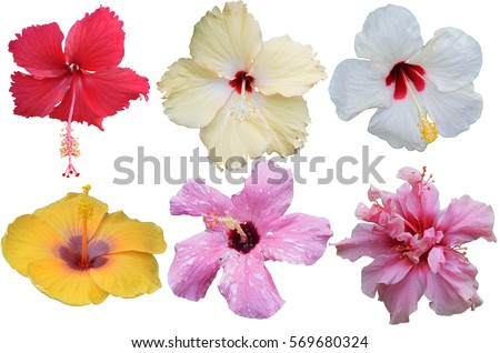 Hibiscus flower isolated, flower die cut with path #569680324