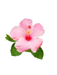 Hibiscus flower isolated on a white background