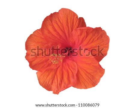 Hibiscus flower isolated on white (clipping path included)
