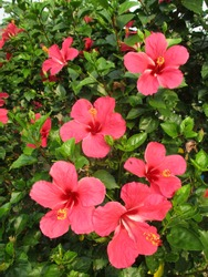 Hibiscus flower or Chinese Rose, Hawaiian hibiscus, China Rose,Shoe flower in garden