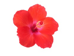 Hibiscus flower or Chinese Rose, Hawaiian hibiscus, China Rose,Shoe flower isolated on white background