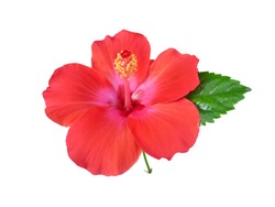 Hibiscus flower or Chinese Rose, Hawaiian hibiscus, China Rose,Shoe flower with leaves isolated on white background