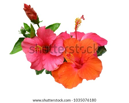 Hibiscus flower or Chinese rose, Hawaiian hibiscus, China rose, Shoe flower with leaves isolated on white background