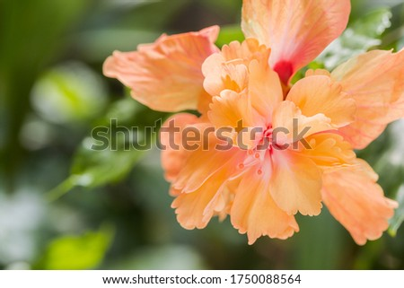 Hibiscus flower or Orange flower, China rose, Chinese hibiscus, Hawaiian hibiscus, shoe flower (Hibiscus rosa sinensis) in the garden