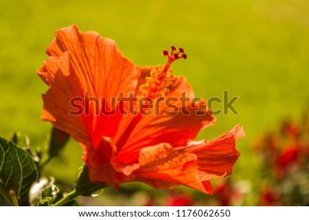 Hibiscus flower red orange with stamen stamens Bokeh #1176062650