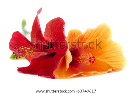 hibiscus flower, shallow DOF - stock photo