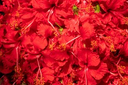 Hibiscus flowers are being sold to devotees in Kalighat market. Image shot at Kalighat, Bengali New year,