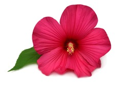 Hibiscus head pink flower grade Fireball isolated on white background