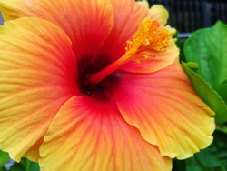 Hibiscus (Hibiscus rosa-sinensis L.) is a shrub of the Malvaceae tribe originating from East Asia and is widely grown as an ornamental plant in the tropics and subtropics.  Big flower, orange color