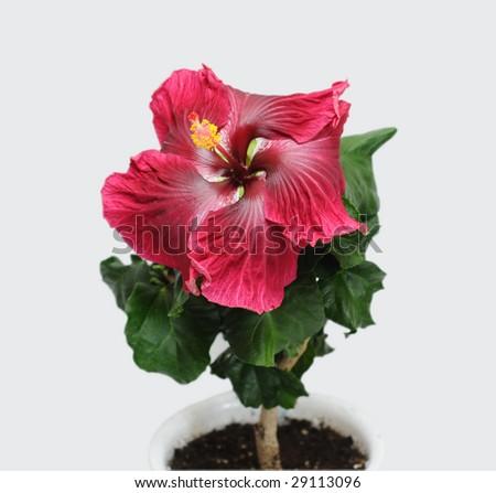 hibiscus in a flowerpot