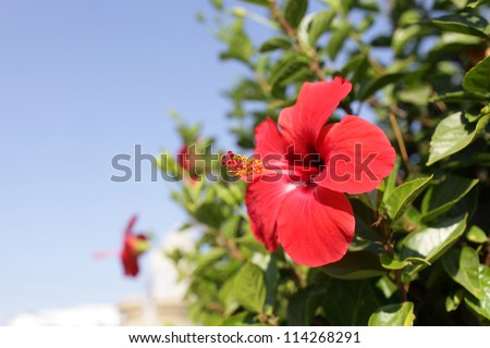 Hibiscus is a genus of flowering plants in the mallow family