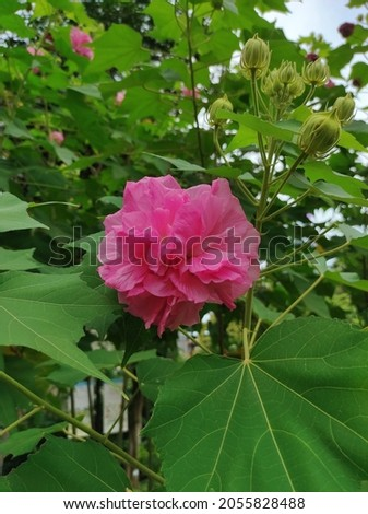 Hibiscus mutabilis, also known as the Confederate rose, Dixie rosemallow, cotton rose or cotton rosemallow, is a plant long cultivated for its showy flowers Foto stock ©