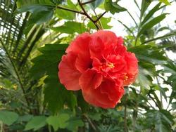 hibiscus red flower china rose  chembarathi  in kerala